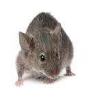 Nourriture pour souris